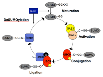 The SUMOylation Cycle