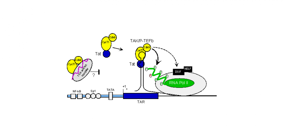 Model for the mechanism of regulation of HIV expression by TAK/P-TEFb.