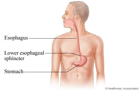 Diagram of the Esophagus