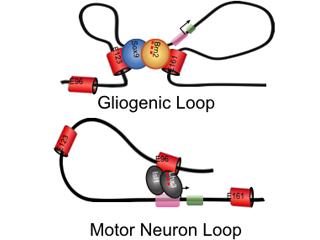 Top: Gliogenic Loop; Bottom: Motor Neuron Loop