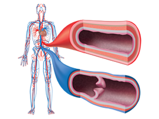 A schematic of the cardiovascular system of an adult human, with magnified views and cross-sections of an artery (in red) and a vein (in blue). Image courtesy of Kate Wythe (copyright 2014).