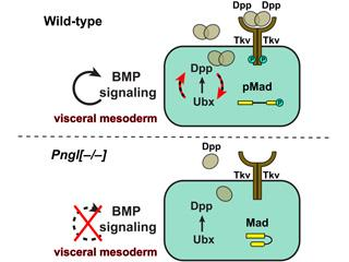 Pngl is required for Dpp autoactivation in the visceral mesoderm during Drosophila intestinal development. For details, please see Galeone et al, 2017.